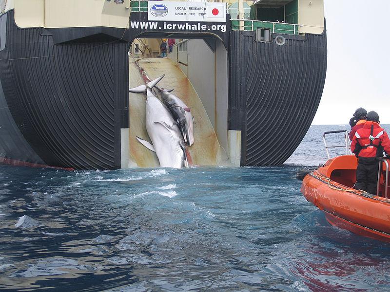 Japan_Factory_Ship_Nisshin_Maru_Whaling_Mother_and_Calf.jpg